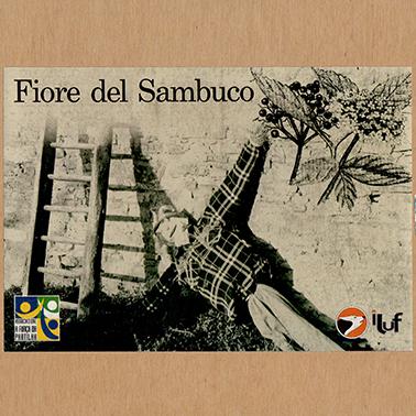 fiore_del_sambuco
